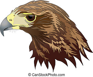 Raptors - Harris Hawk head. Lat. name- Parabuteo unicinctus....