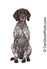 German shorthaired pointer isolated - a hunting dog of the...