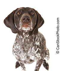 german shorthaired pointer - a hunting dog of the breed...