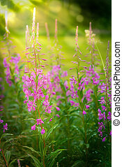 Chamerion angustifolium, also called fireweed A beautiful...