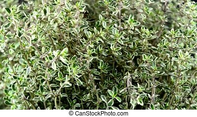 Thyme on a turntable