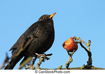 Blackbird with red apple on blue background