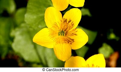 marsh-marigold, closeup of the flower