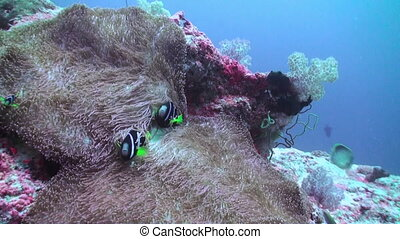 Anemones and clown fish. Close Up Shot. Maldives.