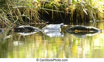 American turtle at a German pond - American turtle in German...