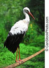 White Stork close up image