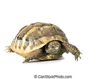 Herman tortoise with white background