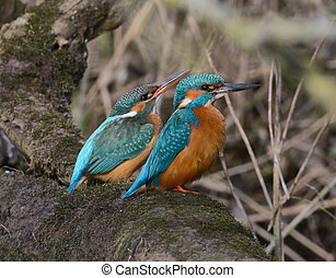 Pair of kingfisher sitting together
