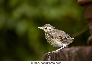 Song Thrush chick - A Song Thrush chick on a maiden voyage