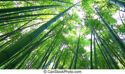 bamboo forest - Bamboo forest. The trunks of bamboo stretch...