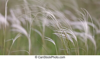 The stipa feather grass waving