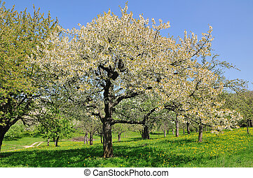 fruit tree - blooming fruit tree on a spring meadow