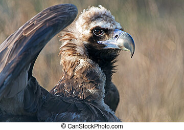 European Black Vulture - Cinereous Vulture with wings spread