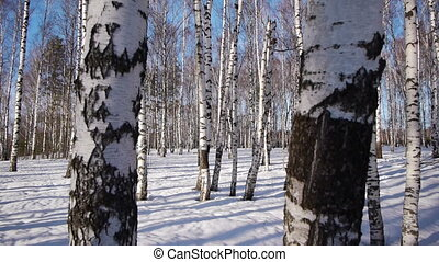 Trunks of birch trees in wintertime - Slider shot of trunks...