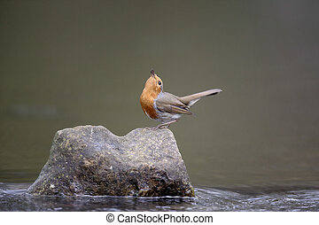 Robin, Erithacus rubecula, single bird on rock in water...