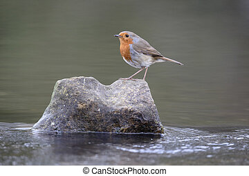 Robin, Erithacus rubecula, single bird on rock in water,...