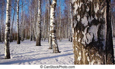 Trunks of birch trees in wintertime