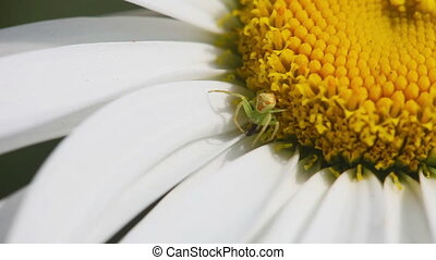 Thomisidae crab spider