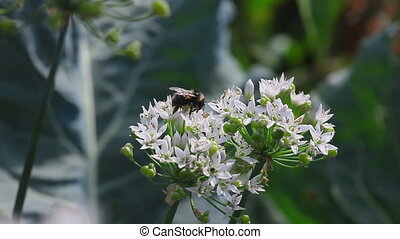 Bumblebee on a flower onion - Bumble bee collects nectar on...