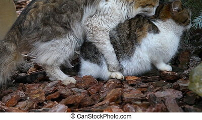 Mating cats outdoor - Pairing of domestic cats in the park