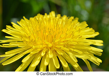 Dandelion in full bloom - Fresh bright yellow, dandelion in...