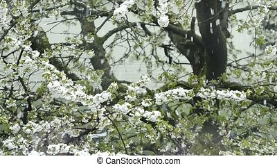 Cherry blossom with falling snow