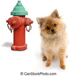Dog and Hydrant - Pomeranian posing next to a fire hydrant...