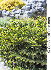 Picea abies quot;Nidiformisquot; - Decorative, low-growing,...
