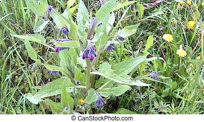 Comfrey, medicinal herb with fresh young, leaves