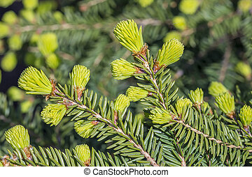 "Picea abies ""Nidiformis"" - Decorative, low-growing,..."
