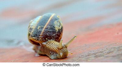 garden snail , edible snail, escargot