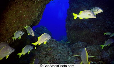 School colored fish swims in reef and in blue sea - School...
