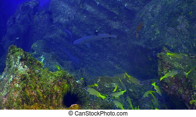 School colored fish swims in reef and in blue sea. - School...