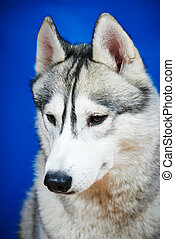 Siberian husky dog - Close-up head portrait of purebread...