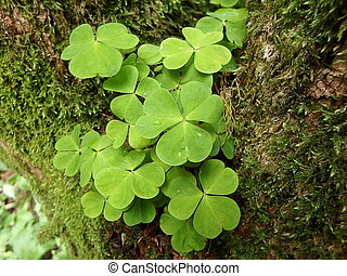 Wood-sorrel (Oxalis acetosella) background