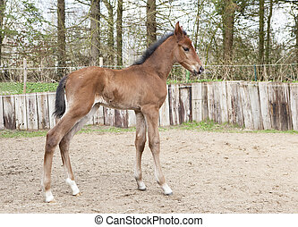 brown Warmblood foals - A young brown foal standing on a...