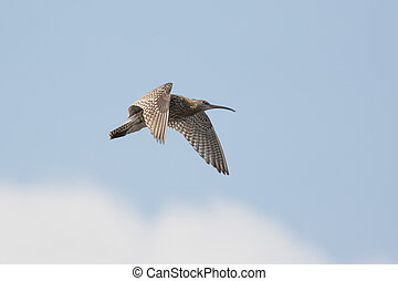 Eurasian curlew Numenius arquata calling and displaying in...
