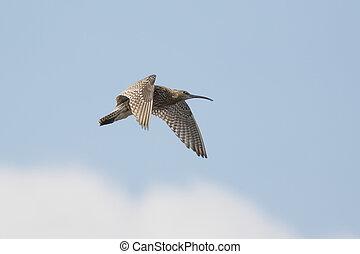 Eurasian curlew (Numenius arquata) calling and displaying in...
