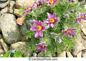 flower of pasqueflower as very nice natural background