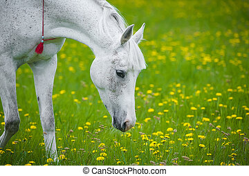 white horse grazing in dandelion field in may