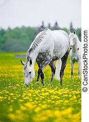 gray horse grazing in dandelion field