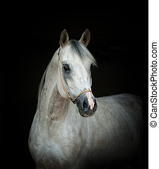 arabian stallion portrait over a black background