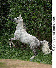 arabian stallion - dapple gray arabian stallion rearing on...