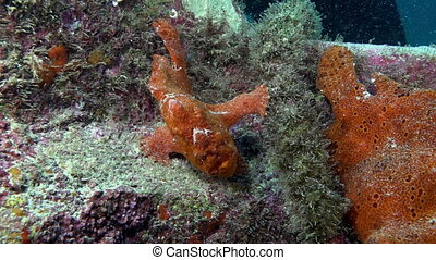 Red Fish Angler Anglerfish Hunt on rocky reef. - Red Fish...