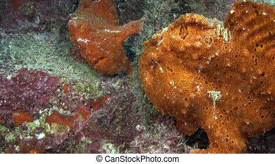 Red Fish Angler Anglerfish Hunt on rocky reef - Red Fish...