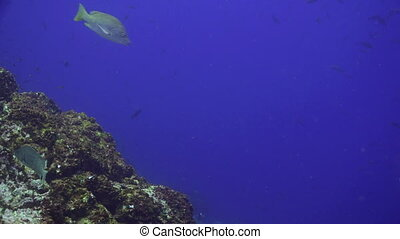 School Tuna fish swims in reef and in blue sea - School Tuna...