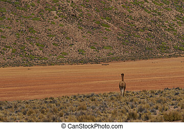 Vicuna on the Altiplano - Lone vicuna Vicugna vicugna...
