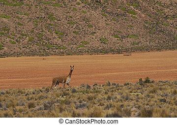 Vicuna on the Altiplano - Lone vicuna (Vicugna vicugna)...