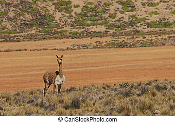Vicuna on the Altiplano - Lone vicuna (Vicugna vicugna)...