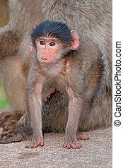 Baby chacma baboon - Cute baby chacma baboon Papio hamadryas...